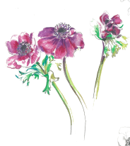 Anenomes (pencil) cropped transparent